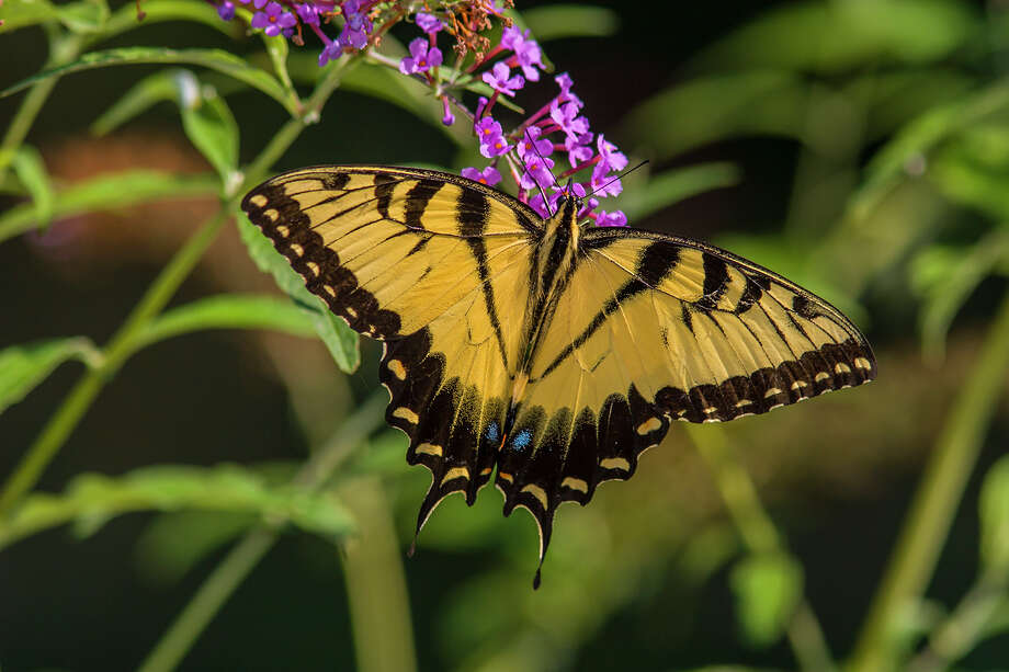 Eastern tiger swallowtail butterflies are easy to identify, with yellow wings coursed by black stripes and twin tail-like protrusions.  Photo: Kathy Adams Clark / Kathy Adams Clark/KAC Productions