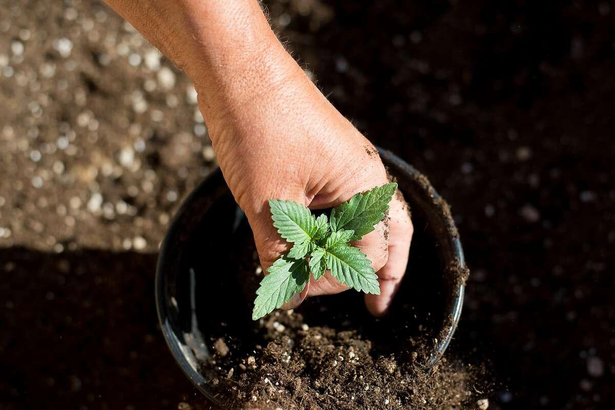 Steve Evans repots a marijuana seedling at his Santa Rosa, Calif., home on Monday, May 22, 2017.