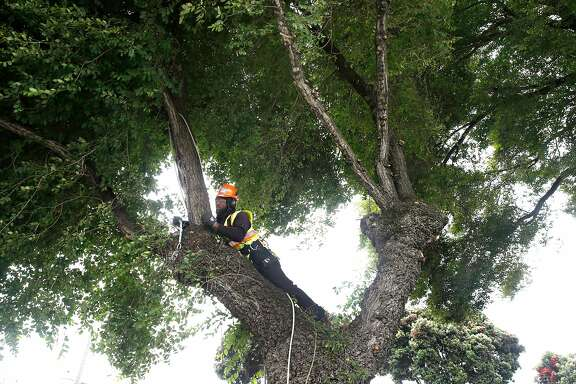 Cedric Bacchus Jr., an arborist with the Public Works department, trims a tree on Alemany Boulevard in San Francisco, Calif. on Thursday, June 29, 2017. Beginning July 1, the city is assuming responsibility of trimming all trees on public sidewalks after voters approved Prop. E in November.