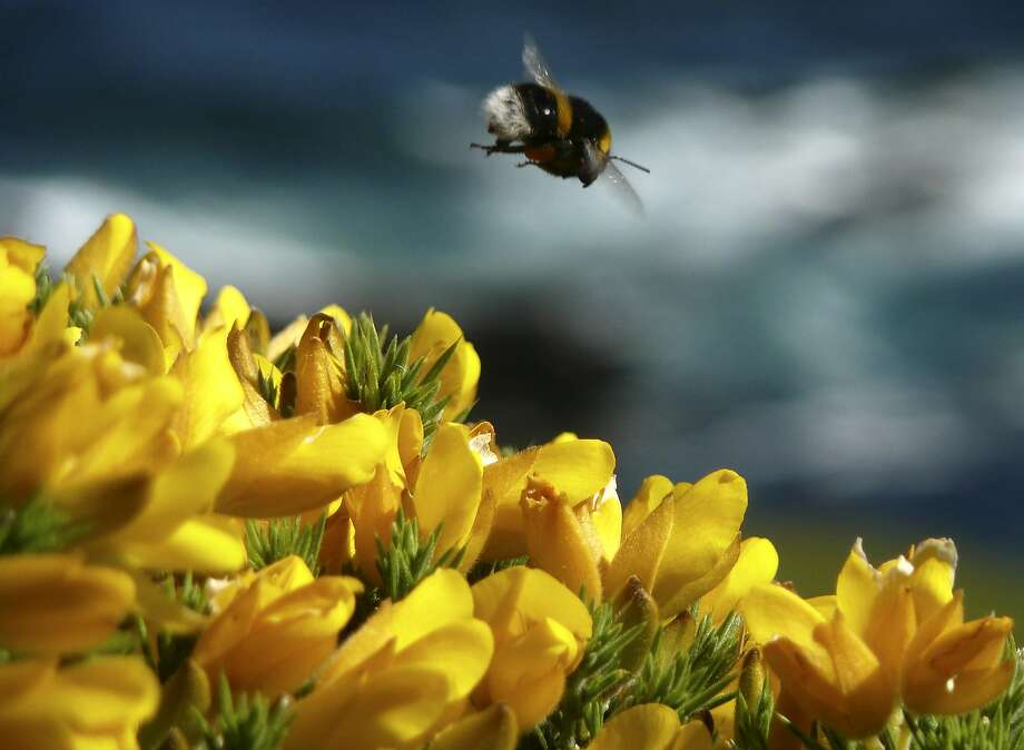 FILE - In this May 22, 2009, file photo, a bumble bee hovers over gorse in Noss Mayo, Devon in south west England. A common and much-criticized pesticide dramatically weakens already vulnerable honey bee hives, according to a new massive in-the-field study in three European countries. For more than a decade, the populations of honey bees and other key pollinators have been on the decline.  Other studies, mostly lab experiments, have pointed to problems with the insecticides called neonicotinoids, but the new research done in Britain, Hungary and Germany is the largest field study yet.(AP Photo/Odd Andersen, File) Photo: Odd Andersen, Associated Press