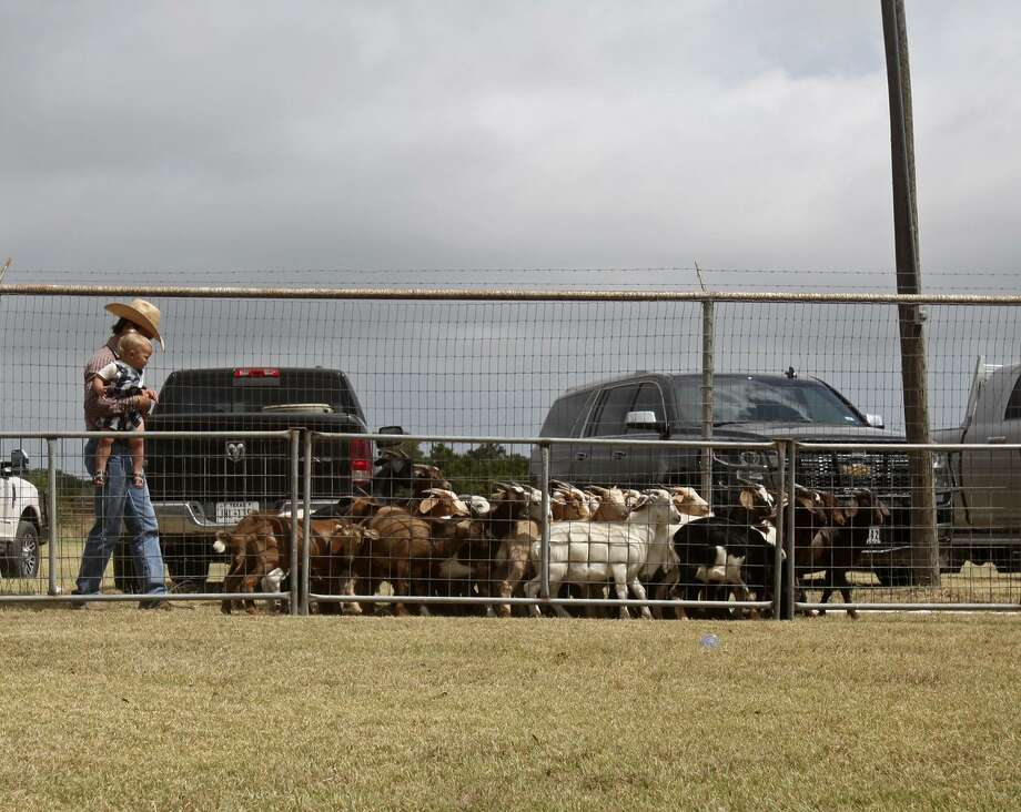 A cowboy walks the goats for several minutes before the goat roping competition at the Edwards County Fair in Rocksprings commences. Photo: Srijita Chattopadhyay /San Antonio Express-News / San Antonio Express-News