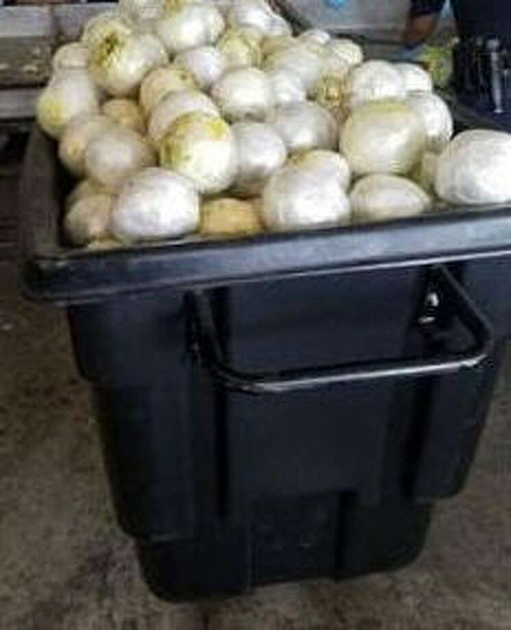 Border Patrol stopped a tractor trailer packed with pounds of weed hidden in fake heads of lettuce. Photo: CBP