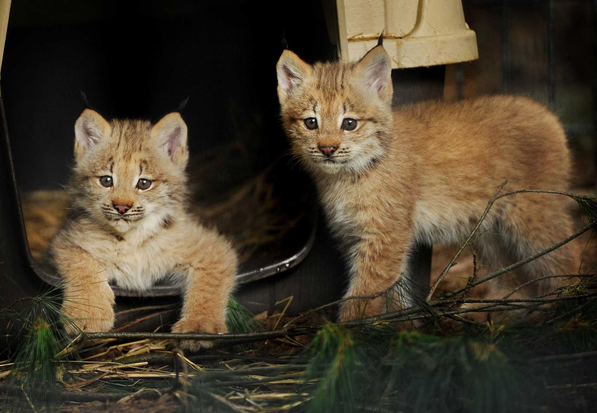 Colleges In Ct >> Beardsley zoo reveals gender of lynx kittens - Connecticut ...