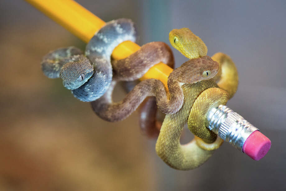 Fans of tiny snakes will appreciate the ten African bush vipers were born on June 11 at the zoo's Reptile and Amphibian House. Though they are rather wee now they will grow to be nearly two feet long a piece. Photo: Stephanie Adams/Houston Zoo