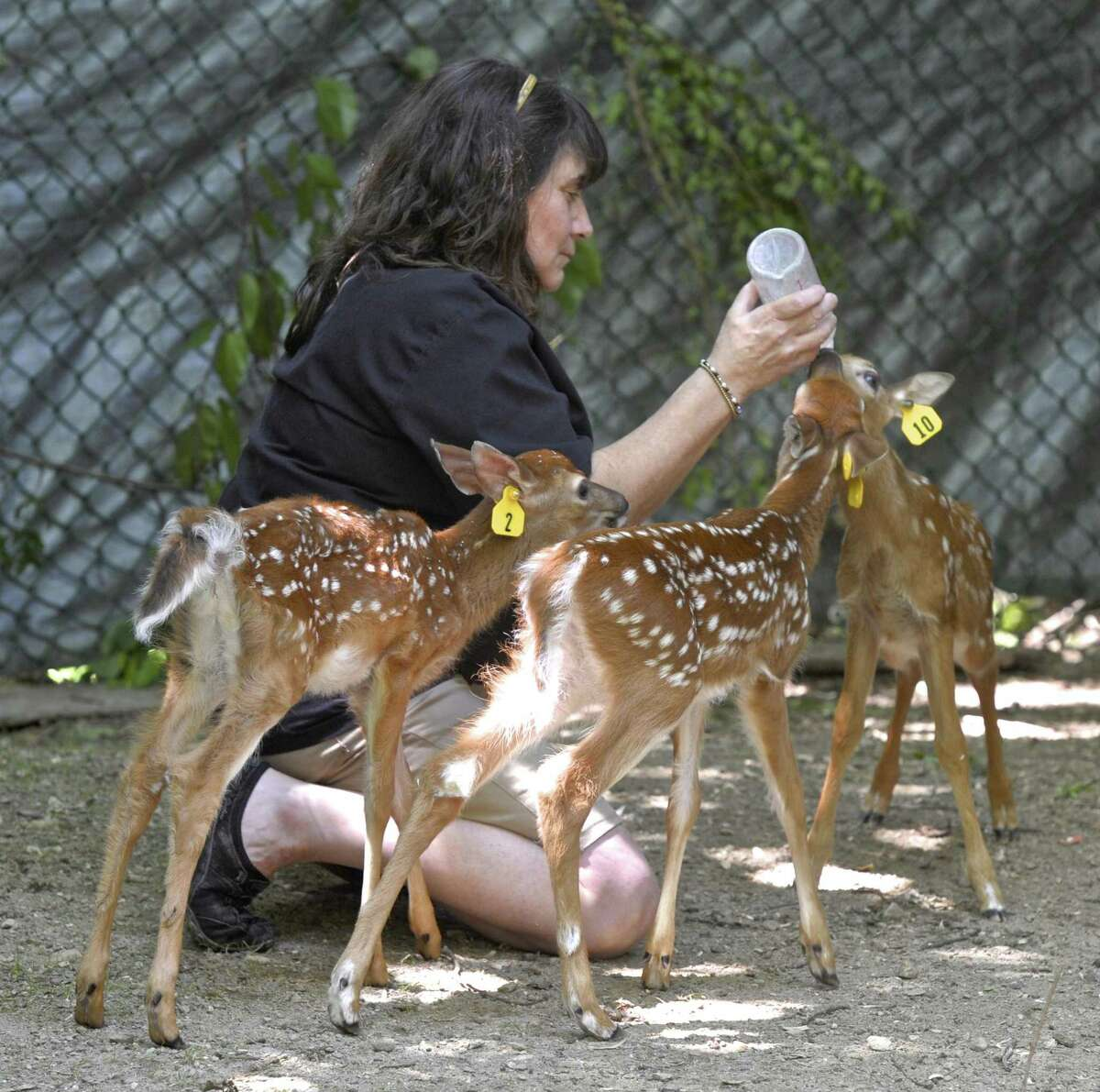 Debbie Corcione, of Sherman runs the non-profit Wildlife-line, which takes young animal and rehabilitates them to be released back into the wild.