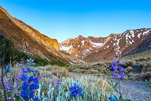 The front country of the Eastern Sierra with blooming lupine looking up toward McGee Canyon