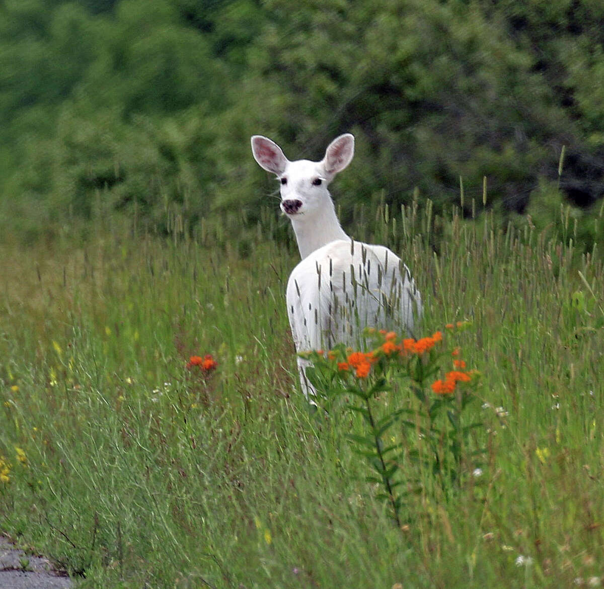 In this June 28, 2017 photo, a white deer stands in a field with orange butterfly weed at the Seneca Army Depot in upstate New York. Public bus tours to view a rare herd of ghostly white deer at a former World War II Army weapons depot are slated to begin fall 2017. The white deer roaming the 7,000-acre Seneca Army Depot in the Finger Lakes have been off-limits to the public for decades, save for glimpses through the surrounding chain-link fence. (Dennis Money via AP) ORG XMIT: NYHO201