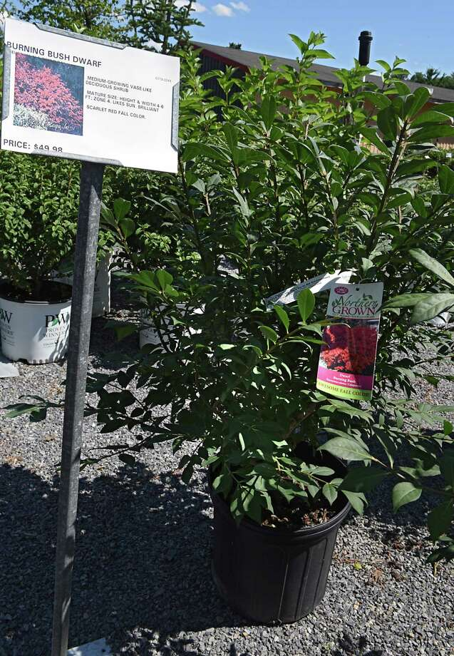 A burning bush at Faddegon's Nursery on Wednesday, July 5, 2017 in Latham, N.Y. NYS has deemed this plant an invasive species and harmful to the environment. NYS has approved a type of now-banned invasive plant for commercial sale. Called a Japanese barberry, the new version of the plant had been made sterile, and thus cannot spread. (Lori Van Buren / Times Union) Photo: Lori Van Buren, Albany Times Union / 20040985A