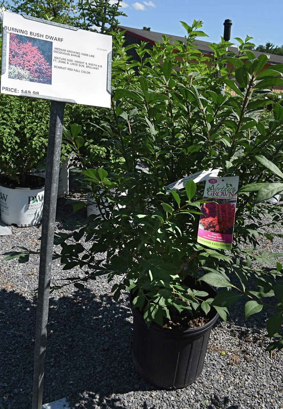 A burning bush at Faddegon's Nursery on Wednesday, July 5, 2017 in Latham, N.Y. NYS has deemed this plant an invasive species and harmful to the environment. NYS has approved a type of now-banned invasive plant for commercial sale. Called a Japanese barberry, the new version of the plant had been made sterile, and thus cannot spread. (Lori Van Buren / Times Union)
