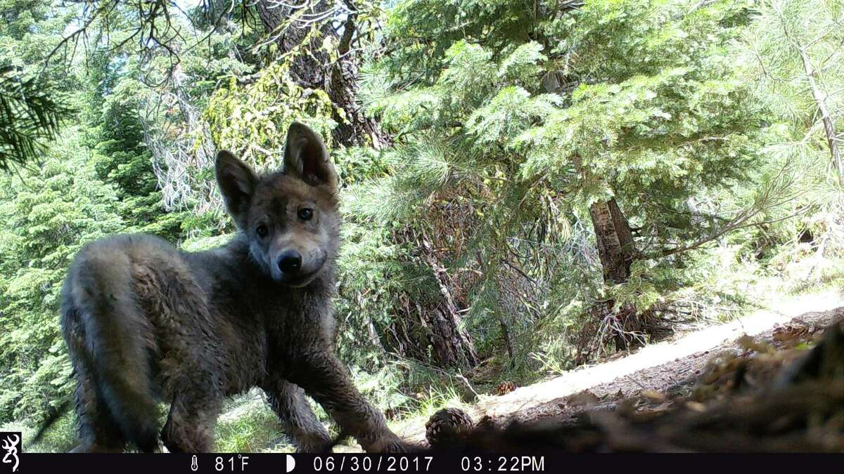 Trail cameras in Lassen National Forest revealed a wolf pup.