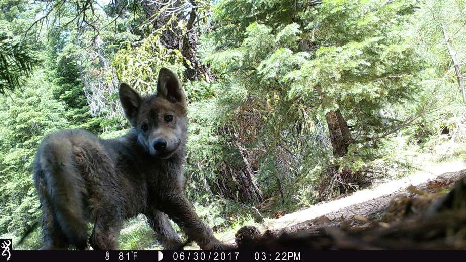 Trail cameras in Lassen National Forest revealed a wolf pup. Photo: U.S. Forest Service / U.S. Forest Service