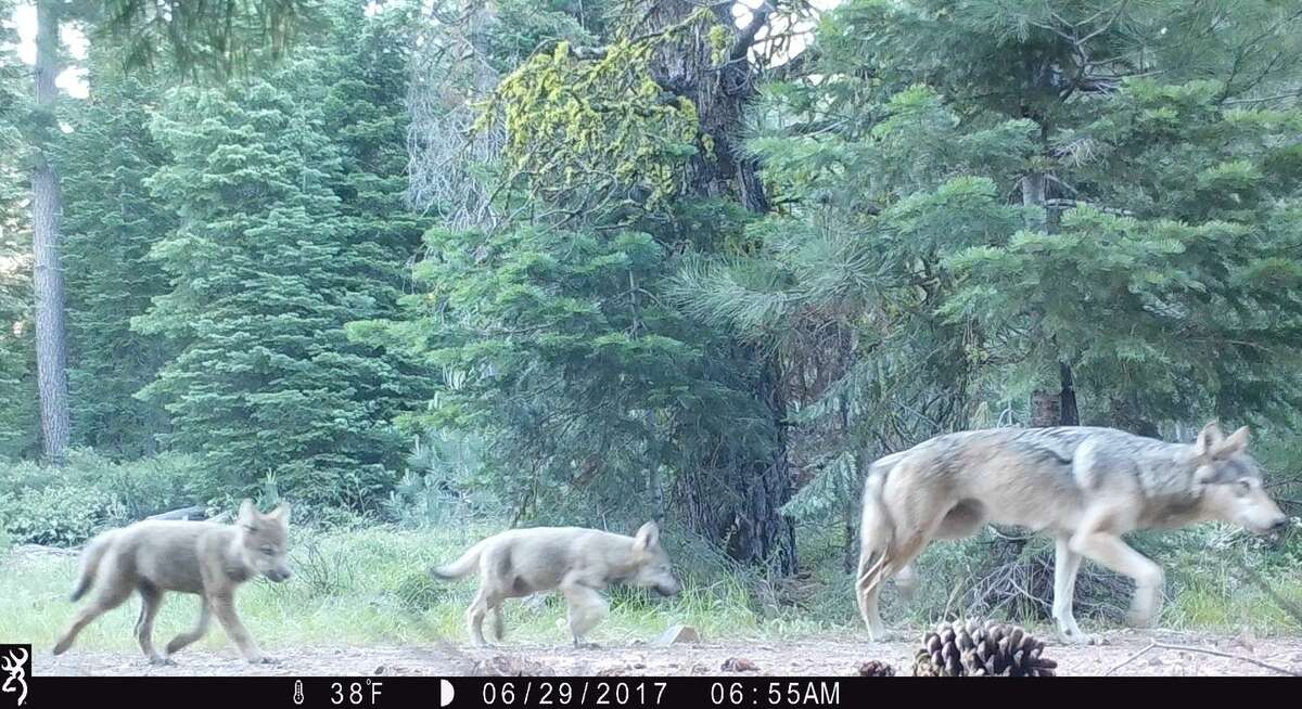 Trail cameras in Lassen National Forest revealed the Lassen Pack mother with two of her pups.