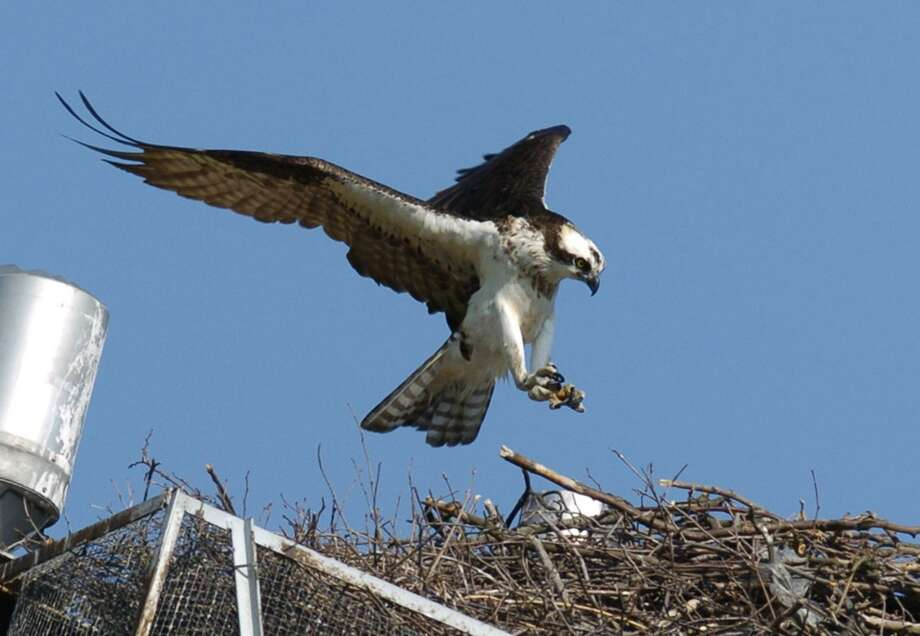Stamford_060908_Wilds of Suburbia: Ospreys at Cummings Park.  by Paul Desmarais/ Staff Photo: METRO Staff Photo Paul Desmarais The osprey or pandelion halieatus is a large black and white bird of prey, or raptor, that eats almost nothing but fish. In the 1940's, over 1,000 active osprey nests were counted in Connecticut. But ospreys were almost wiped out from 1950 to 1970 by pesticides, especially DDT. By 1974, only nine nests were counted in the state. Since then, the species has made a remarkable comeback. In the Long Island Sound watershed, the osprey has proven more than willing to live near humans. Birds have built nests on light stanchions in public parks, like the two in Cummings Park in Stamford and Calf Pasture in Norwalk. The osprey has benefited from programs to build nesting platforms in habitats that will support one, and many of those manmade platforms are now home to nesting pairs of these large birds. Ospreys tend to return to the same nest each year, arriving in March and adding new material to their old nests before laying eggs. Adult ospreys can have a wing span of 5 to 6 feet. The birds fish by flying or hovering over a spot, then diving down, feet first, snagging fish with their talons. Photo: Paul Desmarais / ST / 00007117A