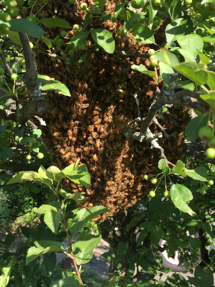 About 10,000 local bees abandoned an overpopulated indoor hive atAudubon Greenwichon July 5, 2017. Photo: Eli Schaffer