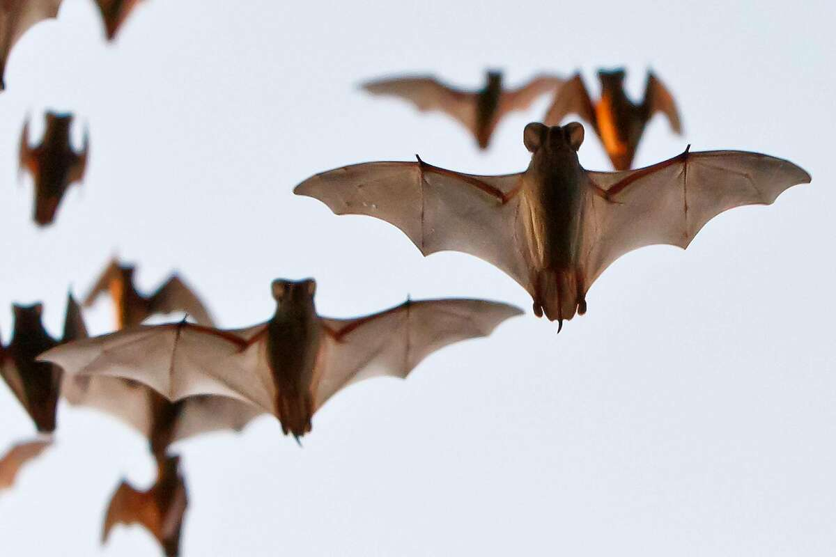 Mexican free-tailed bats leave the Bracken Bat Cave, the summer home of the world's largest bat colony, to feed on insects and moths on Aug. 27, 2011. As many as 20 million of the bats live in the cave located just north of San Antonio. Photo by Marvin Pfeiffer