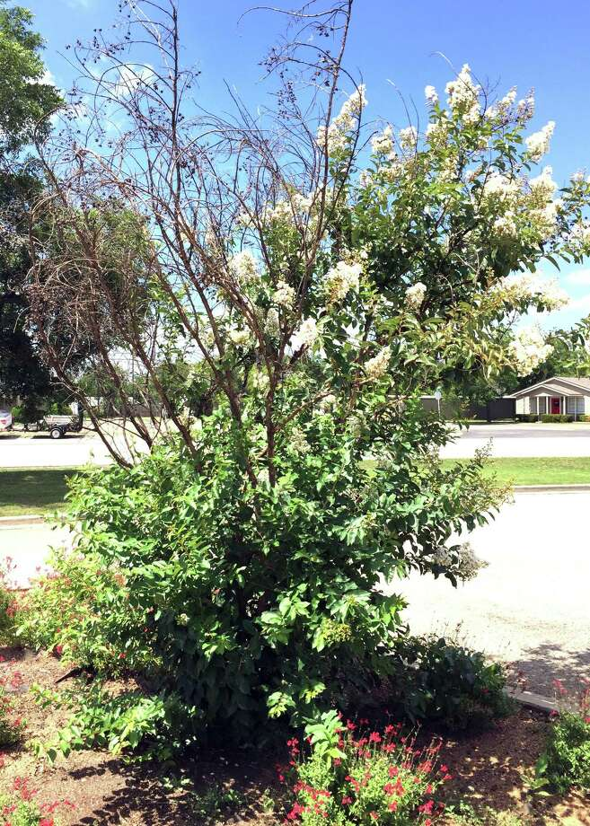 The damage to this crape myrtle is freeze damage from the January cold spell. Photo: Courtesy Photo