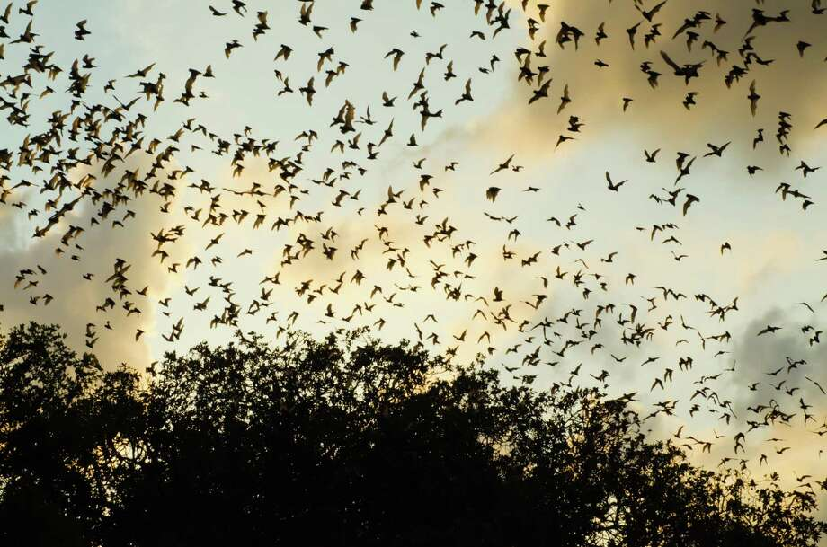 "Bats taking off in large numbers from Bracken Cave, just outside of San Antonio, will be one of the spectacles featured on the inaugural TV event ""Earth Live"" on Sunday night on National Geographic channels. Photo: The Nature Conservancy"