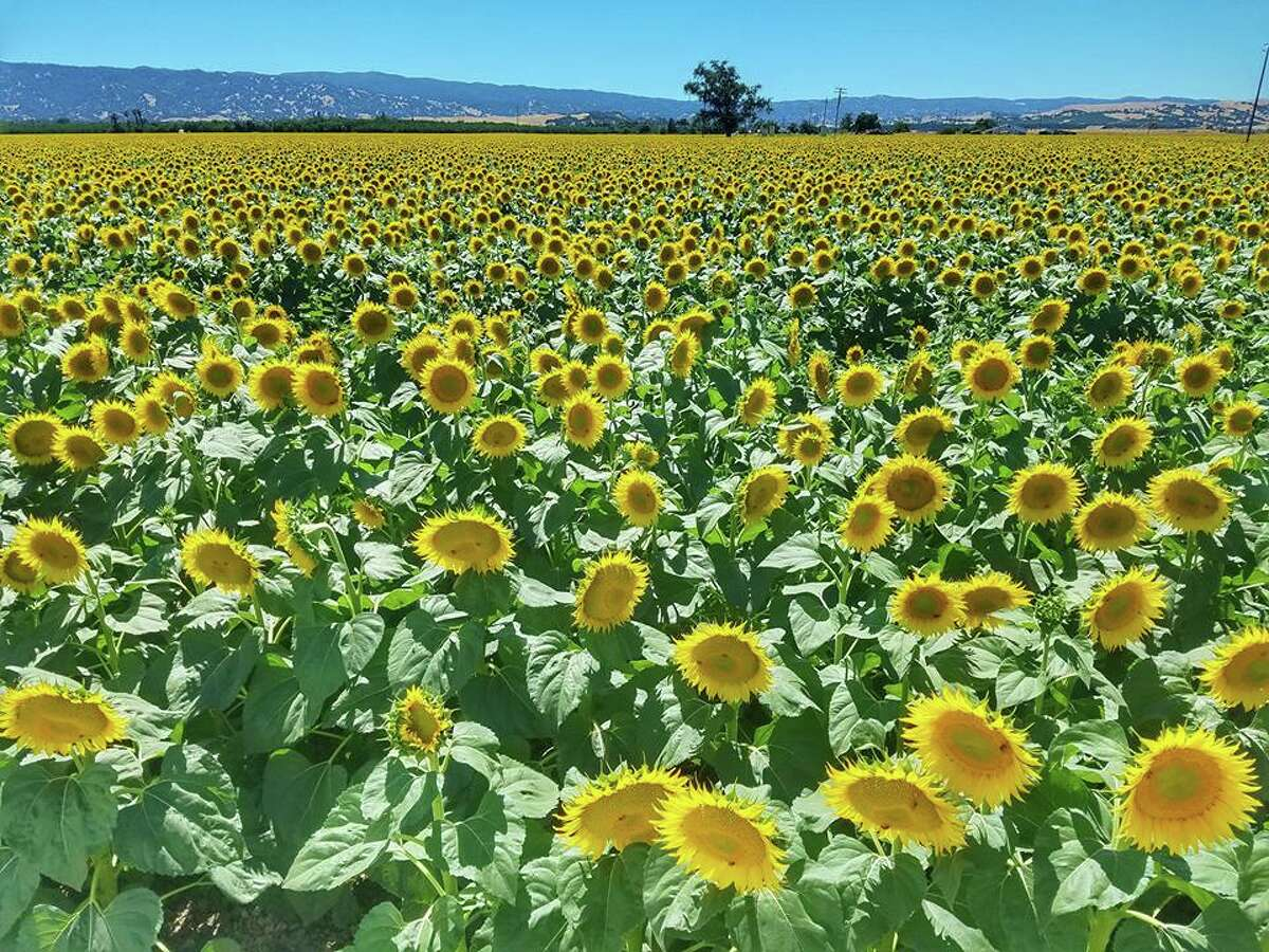 Blooming fields of sunflowers explode yellow at Muller Ranch in Woodland, Calif., in June 2017