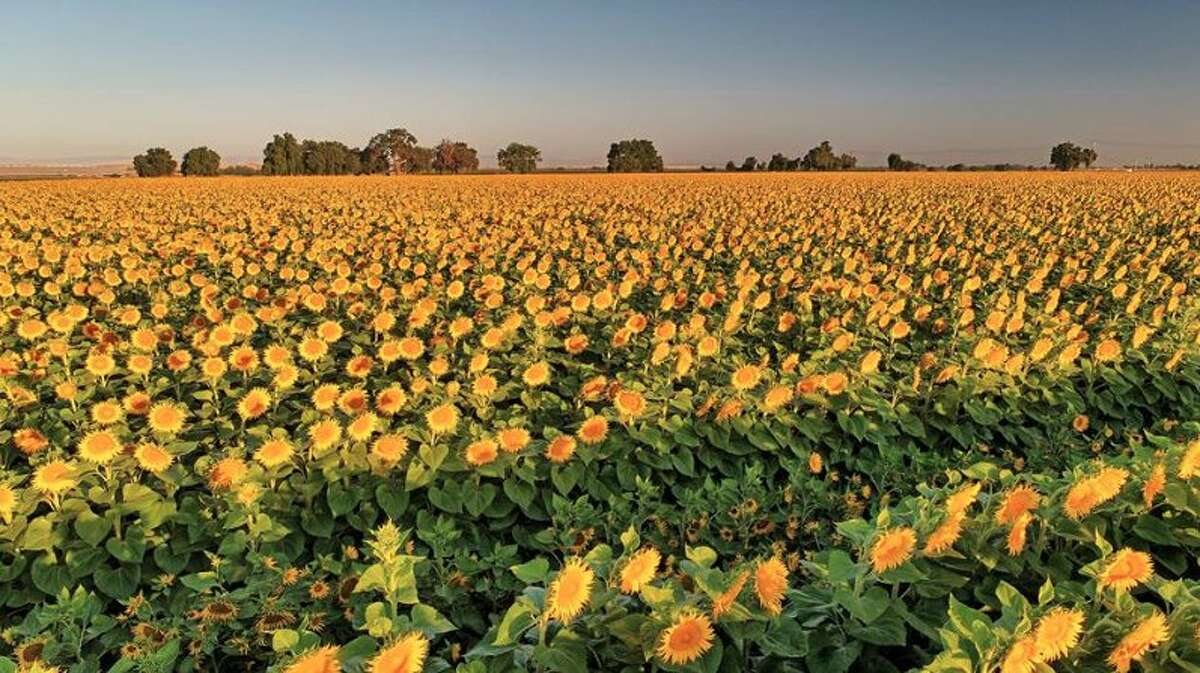 Blooming sunflowers stand tall in a Sacramento Valley farm field on July 4, 2017.