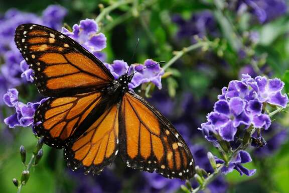 A monarch butterfly feeds on a duranta flower.