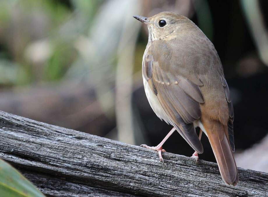 A hermit thrush rests on a log in the woods in New England. Photo: Chris Bosak / Hearst Connecticut Media / The News-Times