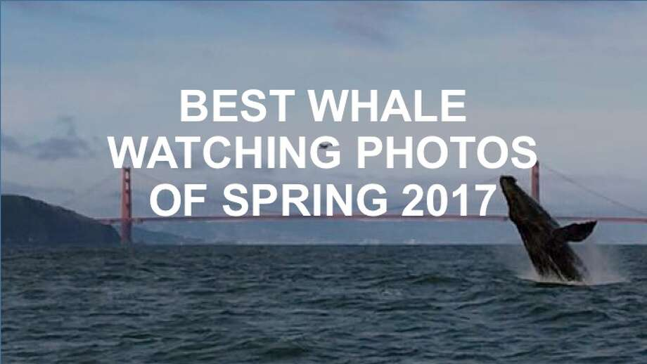 There have been some awesome moments captured of whales in the SF Bay Area and around the region. Click ahead to check them out.