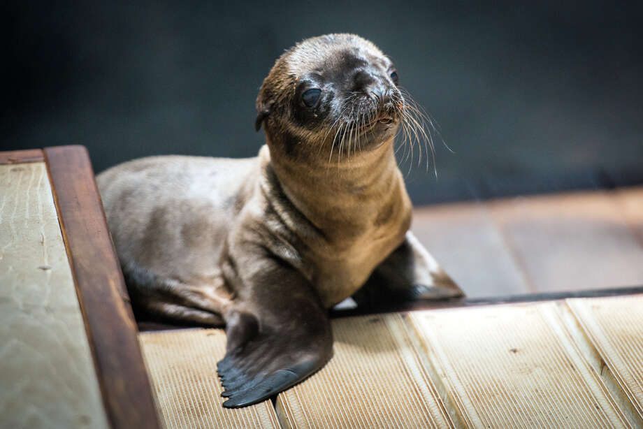A California sea lion pup was born to first-time mother, Cali, on June 26 after a three-hour labor. The pup and Cali began to bond immediately, and nursing was spotted within hours. The sex of the pup has not yet been determined and the mother and pup will spend a while behind the scenes strengthening their bond before they are ready to make their first public appearance.