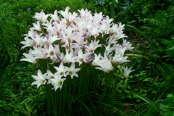 Rain lilies are members of the amaryllis family.