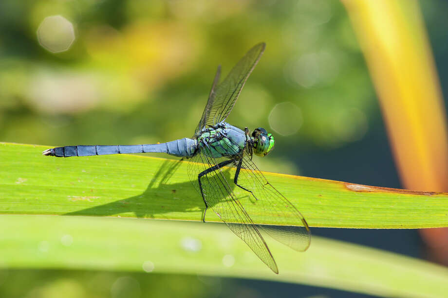 Dragonflies, like this eastern pondhawk, have a voracious appetite for mosquitoes. Photo: Kathy_Adams_Clark / Kathy Adams Clark/KAC Productions
