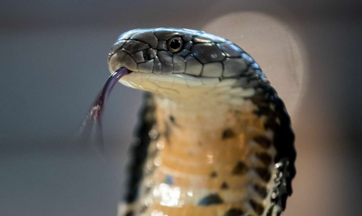 A King Cobra is displayed to the public at Noah's Ark Zoo Farm on August 2, 2016 in Bristol, England.