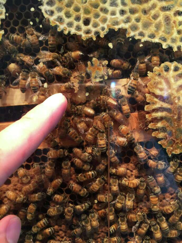 Bees in the Audubon Greenwich observational beehive will be on display for the Honey Harvest event July 29 and 30. Photo: Contributed /