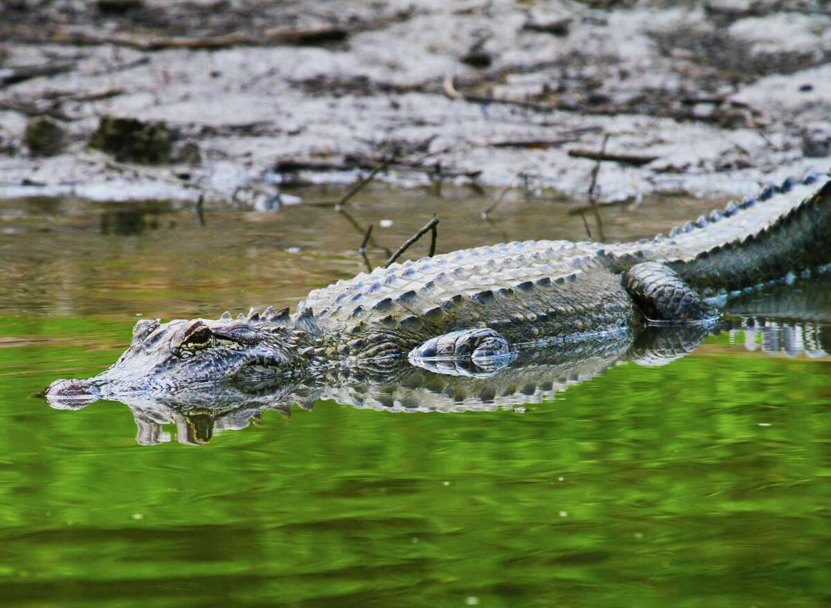 PHOTOS: Houston alligator encounters FILE PHOTO - Park officials near Lake Houston will be adding warning signs around the lake after an alligator (not pictured) lunged at a pet recently at the lake's East End Park. See other recent alligator encounters in Houston and its nearby communities ...