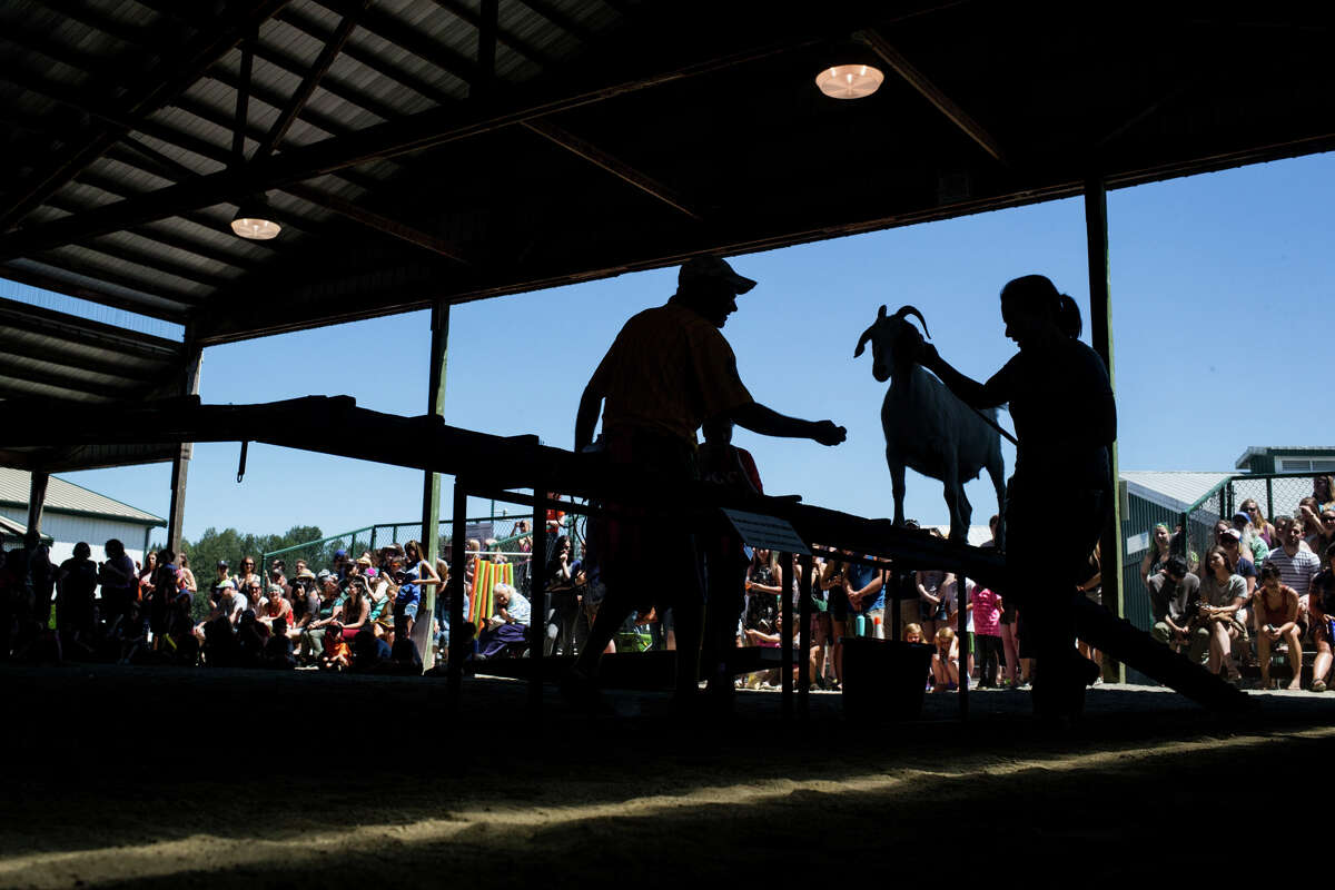 A goat and handler compete in the obstacle course during New Moon Farm's Goatalympics at the Evergreen State Fairgrounds in Monroe on Saturday, July 8, 2017.