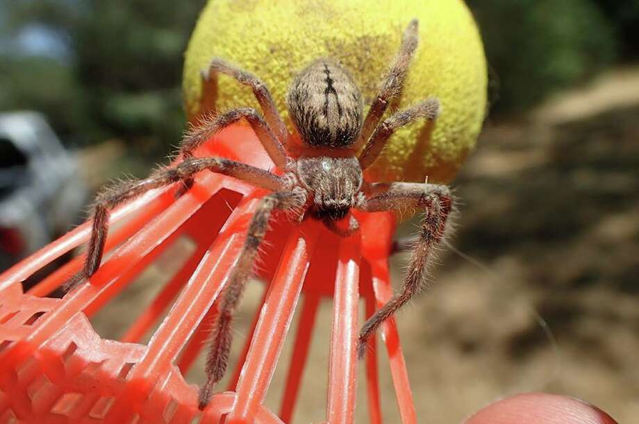 Nature photographer James Lee Landrith stumbled upon a handful of creepy crawlers in the foothills of Timbuctoo, Calif. this summer. Pictured above: Wolf spider Photo: Courtesy: James Lee Landrith