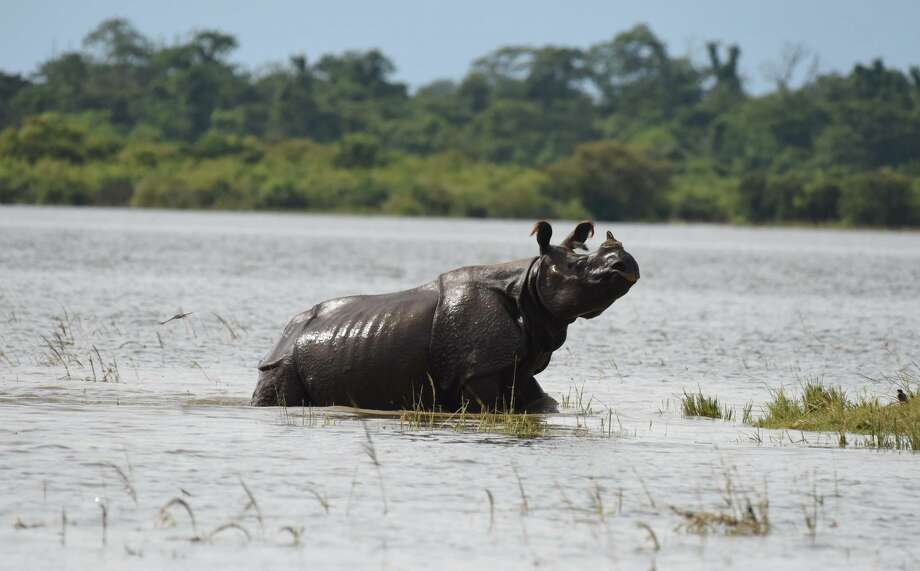 A one-horned Rhino seen in flood waters at Kaziranga National Park on July 06, 2017 in Assam, India.  The flood has also inundated large tracts of Kaziranga National Park, Nameri National Park and Pobitora wildlife sanctuary. Large group of animals of Kaziranga National Park have been reported to have come out of the park towards the neighbouring Karbi Anglong hills. More than 16,000 hectare of crop have been inundated. Photo: Barcroft Media/Barcroft Media Via Getty Images
