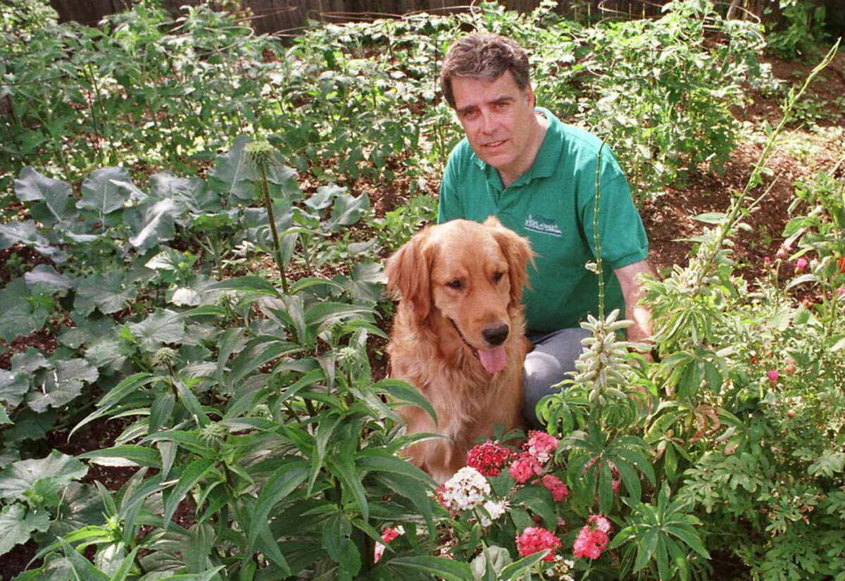 Times Union Staff photo by PAUL D. KNISKERN, SR.-7/2/97-ALBANY, N.Y.- JACK MCENENY, CANDIDATE FOR ALBANY MAYOR, WORKS IN HIS GARDEN WITH HIS GOLDEN RETREIVER, ROWAN.