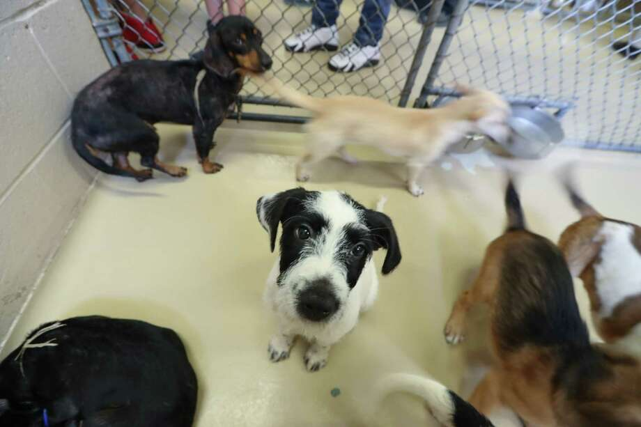 The Harris County Animal Shelter Sunday, July 9, 2017, in Houston. The shelter is swamped with a wave of new puppies in need of homes.  According to a Facebook post by the shelter, 59 puppies were taken in on Friday despite already being four times over capacity.  Sunday, July 9, 2017, in Houston. Photo: Steve Gonzales, Houston Chronicle / © 2017 Houston Chronicle