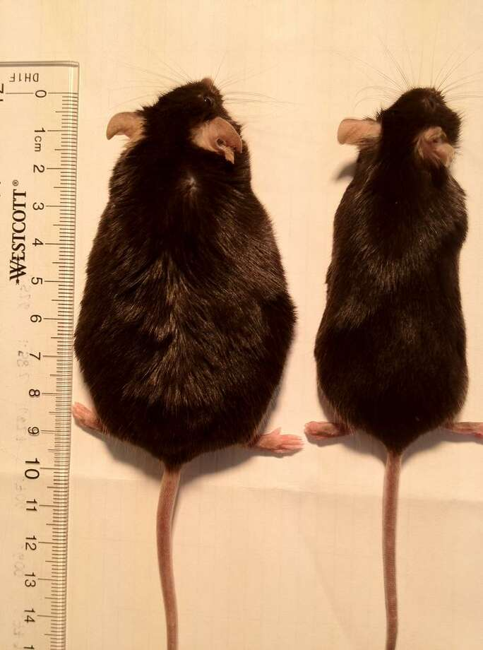 These mice ate the same high-fat diet in a UC Berkeley study, but the sense of smell was removed for the one on the right, helping it stay slim. Photo: Courtesy Of UC Berkeley / UC Berkeley
