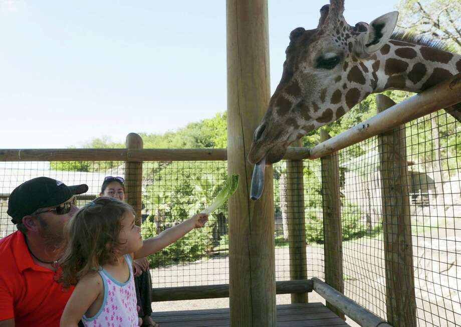 Chloe Sparrow, 2, feeds Alan the giraffe with the help of her father, Jay, at the San Antonio Zoo on Saturday, July 8, 2017. The zoo is offering residents a chance to have a private giraffe feeding at its Beastly Breakfast event each Saturday. Photo: Billy Calzada, Staff / San Antonio Express-News / San Antonio Express-News