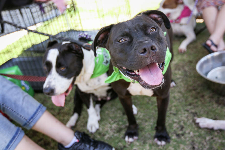 Pit bulls Bane, left, and Porsche, right, both about 2-3 years old, lounge about during a Rock-A-Bully and Friends Rescue adoption event at the Southern Star Brewery Farmers and Artisans Market on Sunday. Rock-A-Bully and Friends Rescue is a 4-month-old dog rescue that fosters dogs of all breeds but places a special emphasis on pit bulls. Photo: Michael Minasi, Staff Photographer / © 2017 Houston Chronicle