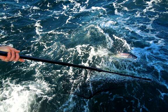 After a fight with a salmon with rod and reel, the fish here is finally brought to the side of the boat to hopefully be netted and brought aboard