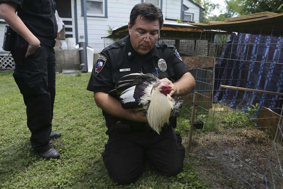 San Antonio Animal Care Services officer Aaron Cadena inspects a chicken at a home on the West Side. The City Council is considering a proposal to limit each household to one chicken, a rule a reader says is obtrusive and unnecessary. Photo: John Davenport /San Antonio Express-News / ©John Davenport/San Antonio Express-News