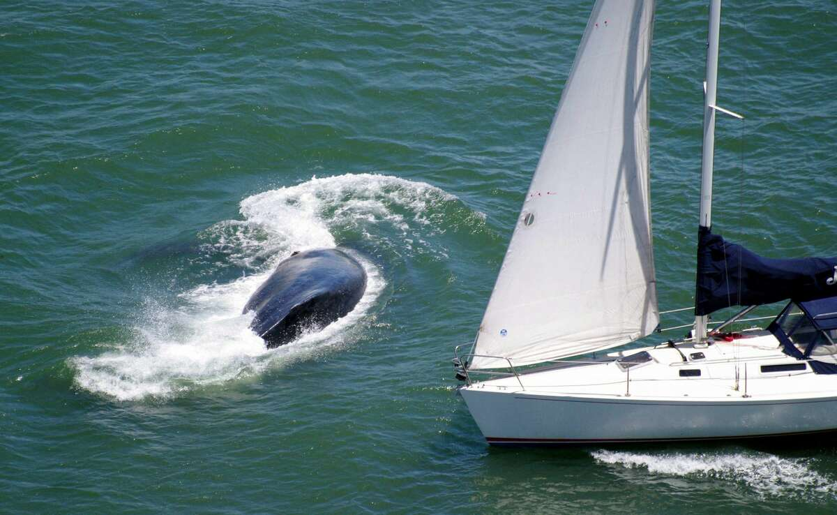 A humpback whale dodged an oncoming sailboat in the San Francisco Bay Saturday.