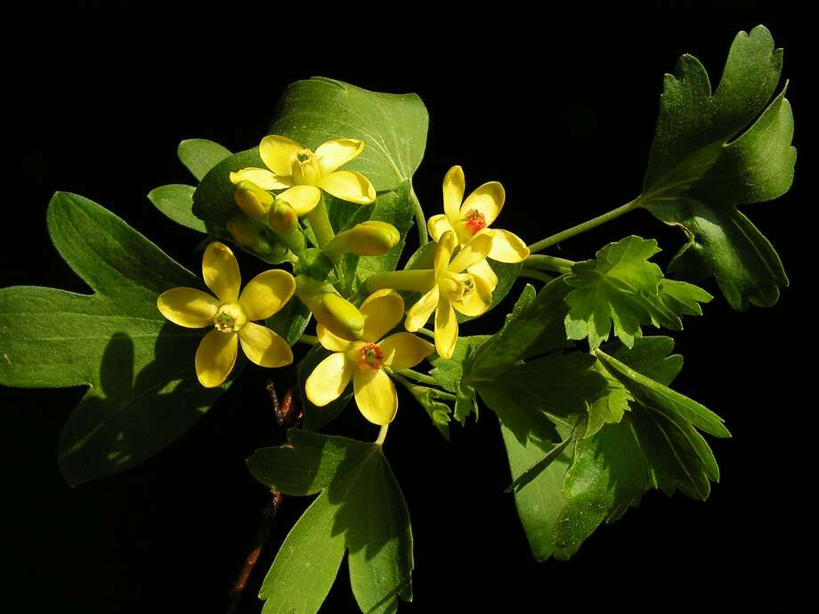 Known as golden currant, Ribes aureum is a California native species that attracts hummingbirds and has a lovely scent; it blooms in late spring. Photo: Wiki