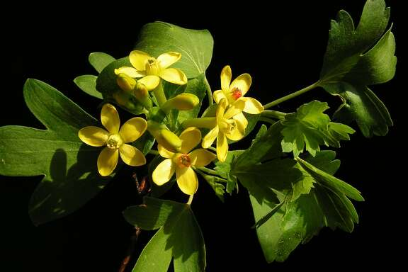 Ribes aureum, better known as golden currant.  Photo: Wiki