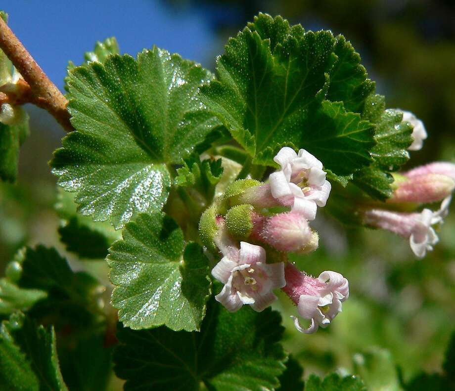 Ribes cereum is known as wax currant for its waxy, scalloped leaves; it is also more drought tolerant. Photo: Wiki