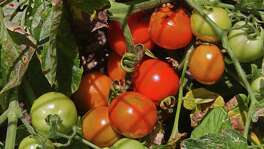 For a fast-producing tomato that produces a fruit larger than a golf ball, plant some of the Roma Surprise transplants.