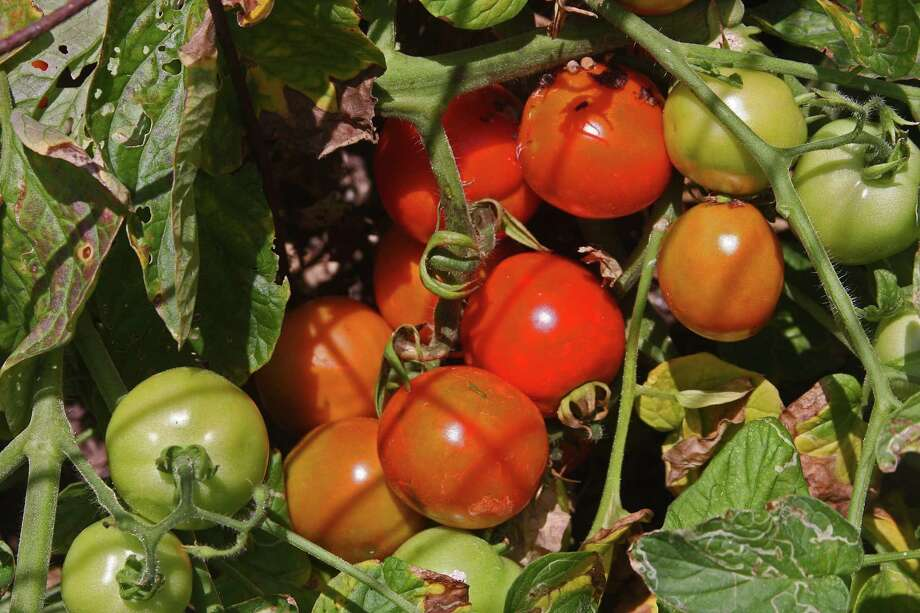 For a fast-producing tomato that produces a fruit larger than a golf ball, plant some of the Roma Surprise transplants. Photo: Courtesy Calvin Finch