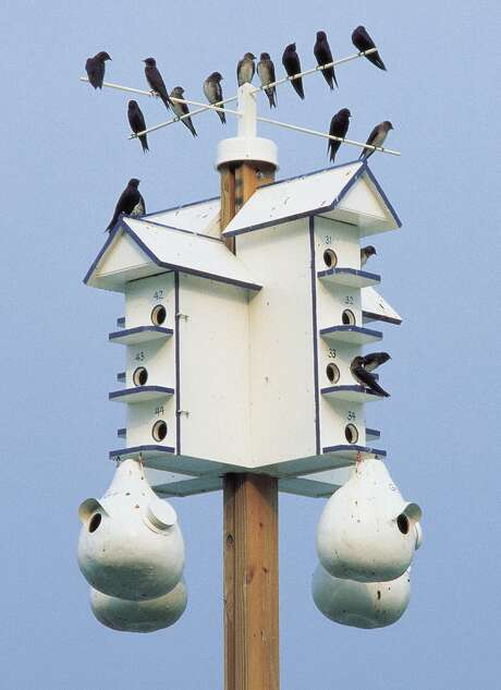 Purple martins are very particular about where they live. Photo: Courtesy The Purple Martin Conservation Association