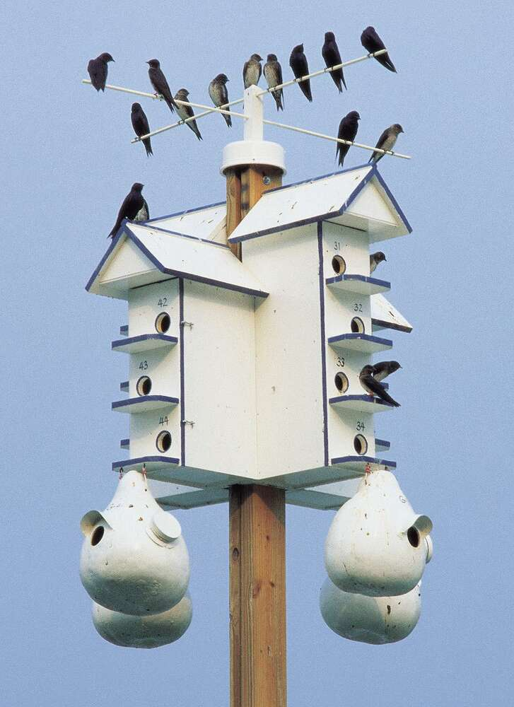 Purple martins are very particular about where they live.